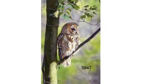 TAWNY OWL/MDC49E/200X140MM/110